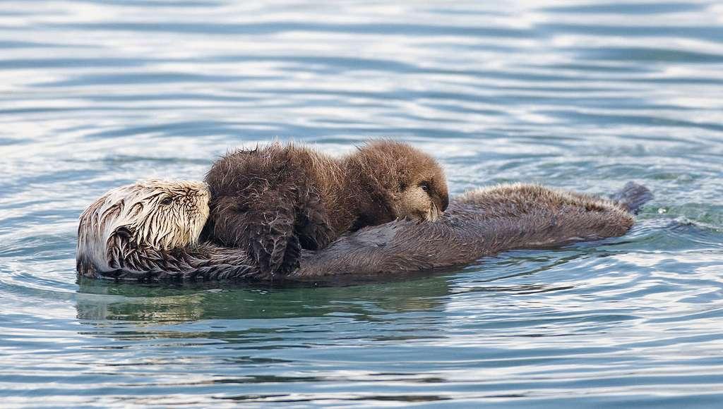 Bébé loutre avec sa mère