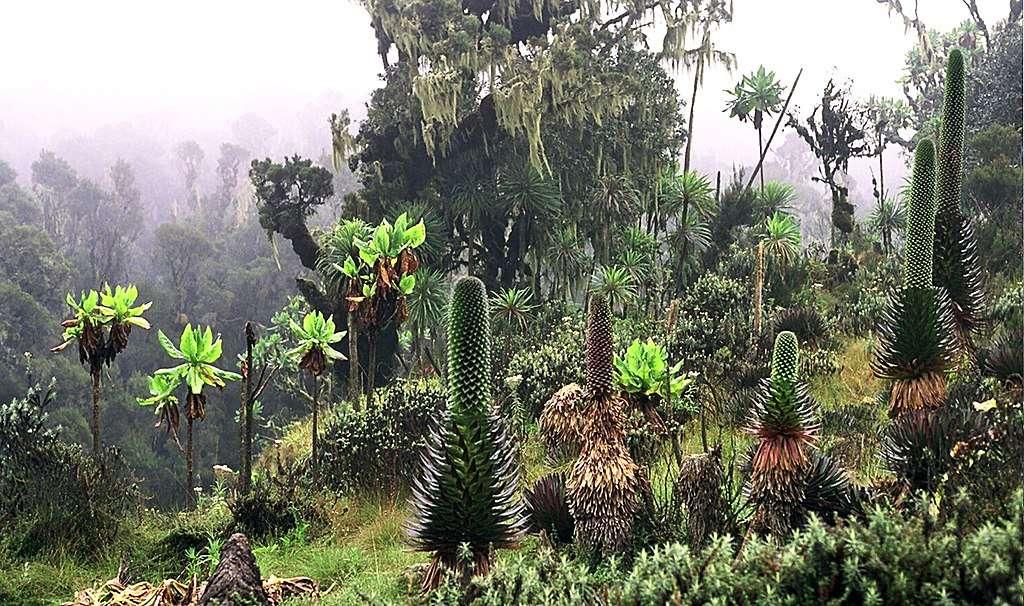 Plantes de la vallée de Bujuku, Parc national des monts Rwenzori. © Manuel Werner, Wikimedia commons, CC 2.5