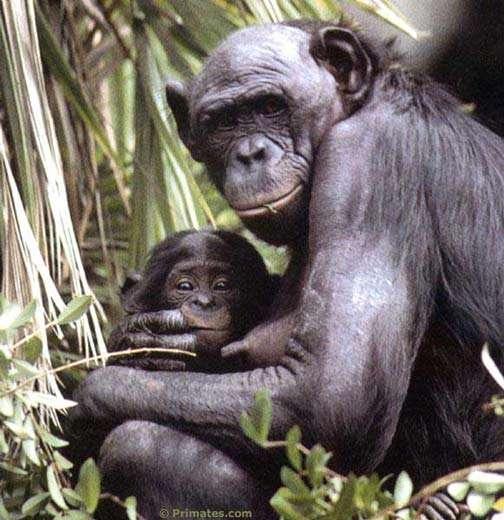 Bonobo et son petit. © Primates.com
