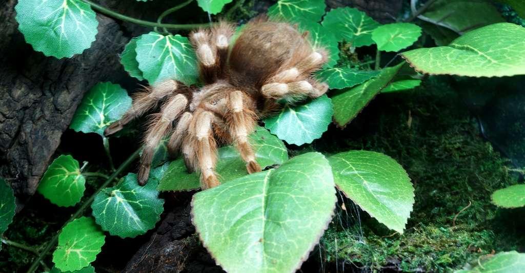 Certaines araignées tropicales sont extrêmement dangereuses, voire mortelles. Ici, Nhandu coloratovillosus. © Sebastian Szmigielski, Wikimedia Commons, CC by-sa 4.0