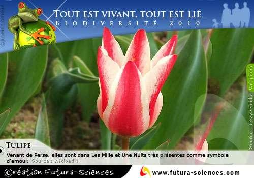 Biodiversité : Tulipe