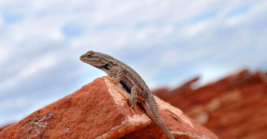 Gecko, il exploite un phénomène d'adhésion moléculaire. © Free-Photos, Pixabay, DP