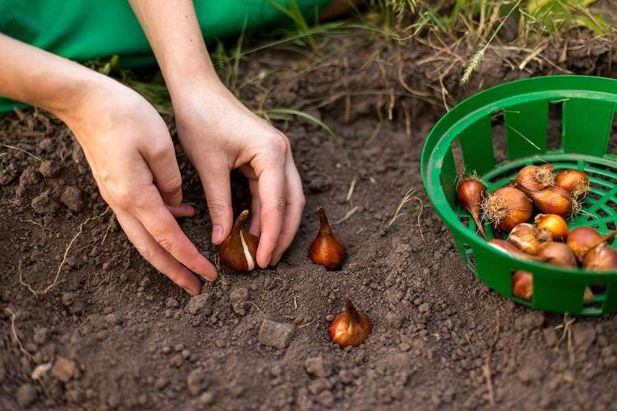 Bien placer le bulbe de tulipe à la plantation. © olyapon, Adobe Stock