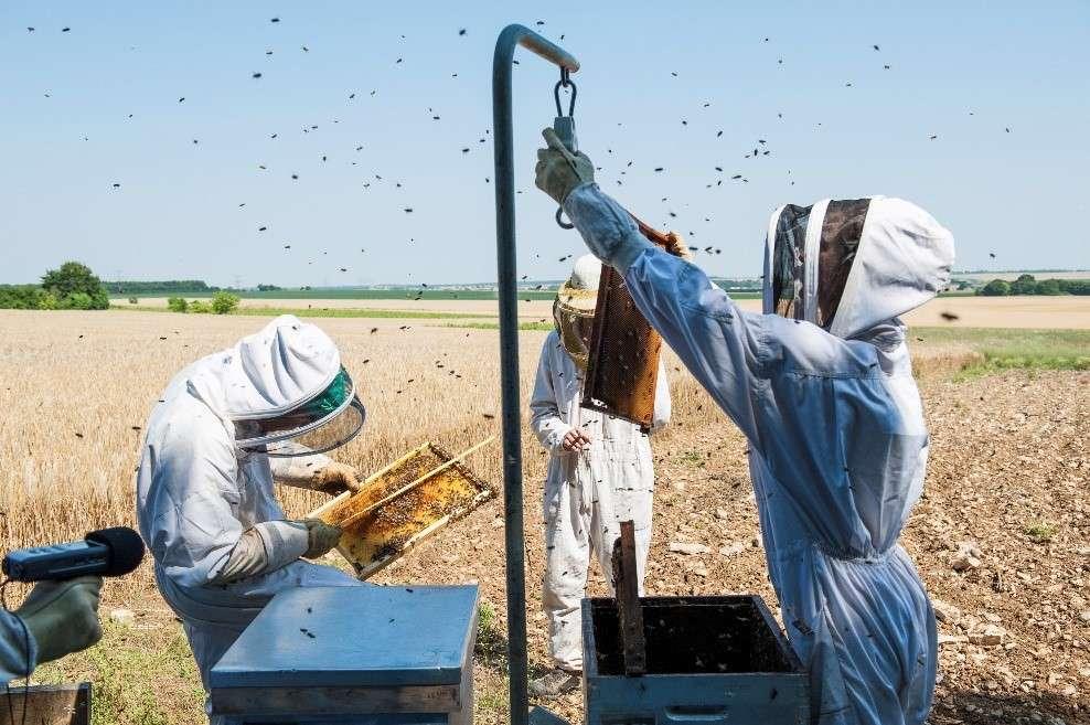 Cette étude a été réalisée grâce à un dispositif unique de suivi des colonies d'abeilles baptisé Ecobee. © Apis, Inra