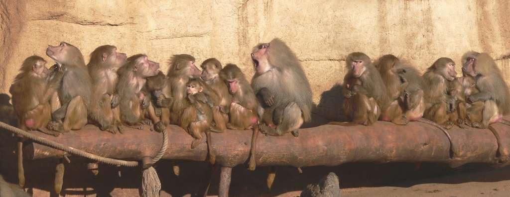 Le babouin hamadryas (Papio hamadryas) mâle est ici au centre de sa troupe. © BS Thurner Hof, GNU 1.2