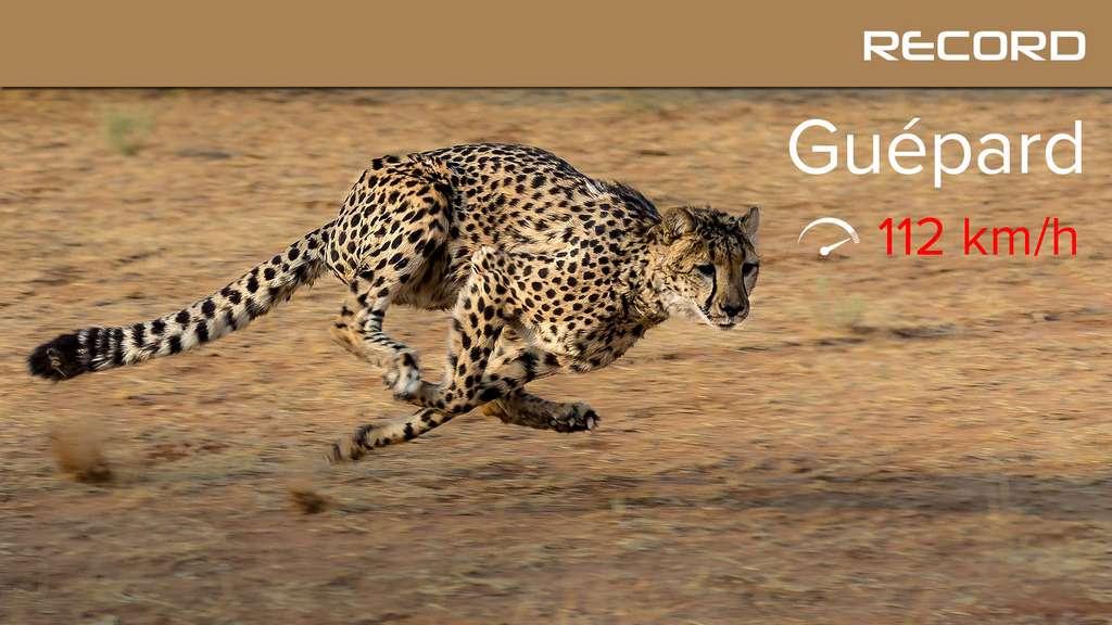 Le guépard, la formule 1 de la savane