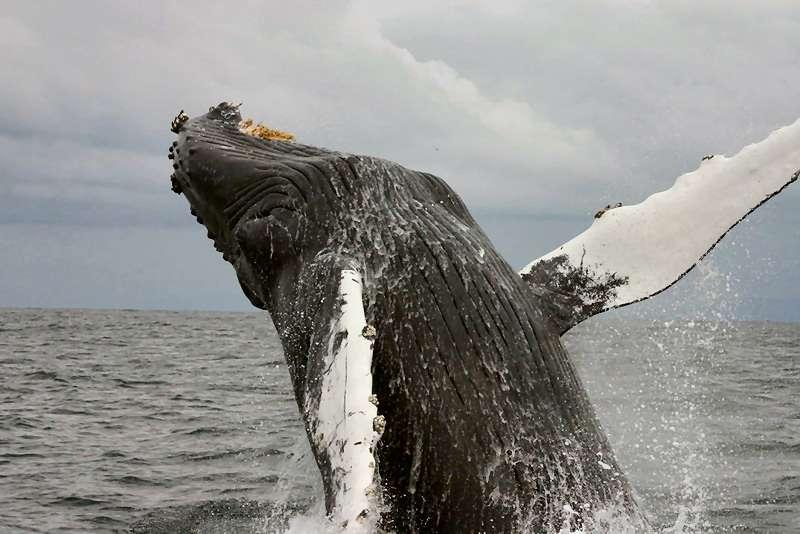 Baleine à bosse sautant hors de l'eau. © Cornelia Oedekoven, NOAA, domaine public