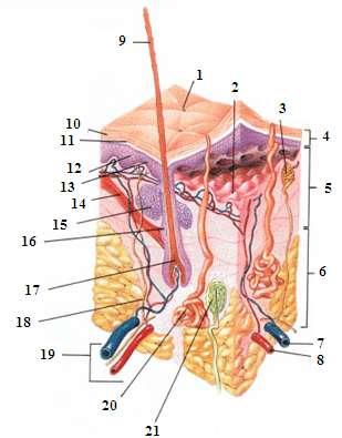 La peau comporte une structure complexe avec de nombreux éléments. On distingue un pore de transpiration (1), une jonction dermoépidermique (2), une terminaison nerveuse (3), l'épiderme, le derme (5), l'hypoderme (6), une veine (7), une artère (8), un poil (9), la cornée (10), une couche pigmentée (11), des kératinocytes (12), des mélanocytes (13), le muscle érecteur du poil (14), la glande sébacée (15), le follicule pileux (16), le bulbe (17), un nerf (18), le système lymphatique et vasculaire (19), la glande sudoripare eccrine (20) et le corpuscule de Pacini (21). © Leridant, Wikipédia, DP