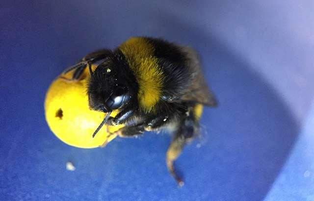 Une abeille déplaçant une balle. © Olli J. Loukola, Université Queen Mary de Londres