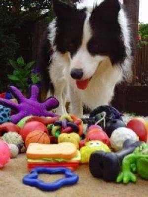 Gable est un border collie âgé de 5 ans. Ce chien connaît ses jouets, va les chercher quand on le lui demande, mais ne les reconnaît pas grâce à leur forme. © Emile van der Zee, Helen Zulch, Daniel Mills, cc by 2.5