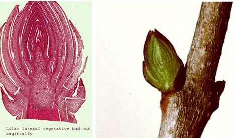 À gauche : bourgeon de lilas (macro). À droite bourgeon de lilas. © MO