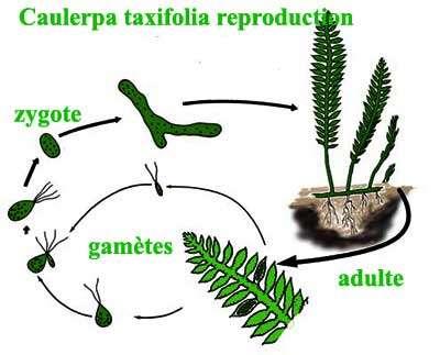 Reproduction de la caulerpe. © DR