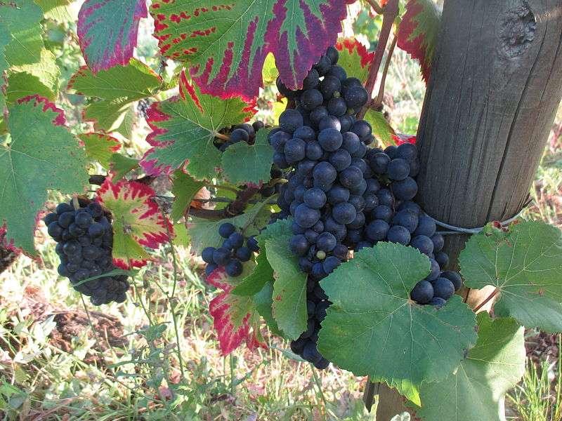 Les vignes avec ses feuilles aux couleurs si particulières. © Arnaud 25, wikimedia commons, CC 4.0