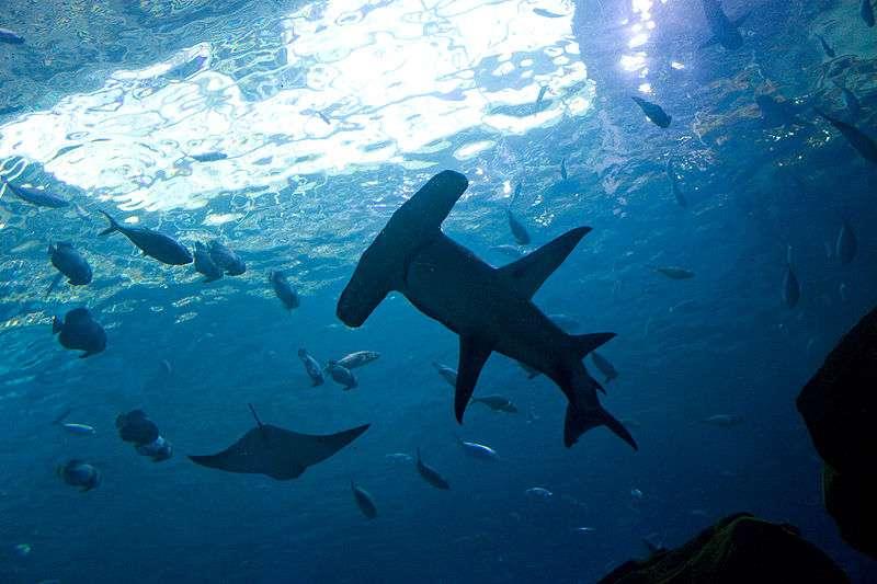 Grand requin marteau. © Gary J. Wood, CCA-SA 2.0 Generic license