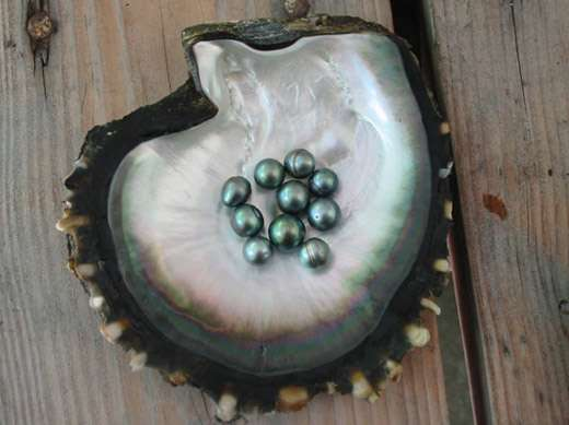 Percez les secrets de la perliculture. © Ifremer