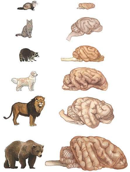 Sur cette illustration, les cerveaux de six des carnivores étudiés par les chercheurs de l'université de Vanderbilt. Notez que celui de l'ours, par exemple, est dix fois plus gros que celui du chat. Pourtant, il contient autant de neurones corticaux. © Suzana Herculano-Houzel, université de Vanderbilt
