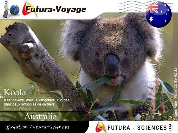 Koala marsupial arboricole herbivore endémique d'Australie