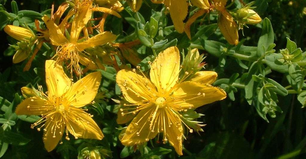 Le millepertuis est une plante utilisée comme complément alimentaire et qualifiée d'antidépresseur naturel. Il peut cependant être dangereux. © Follavoine, Wikimedia Commons, CC by-sa 3.0