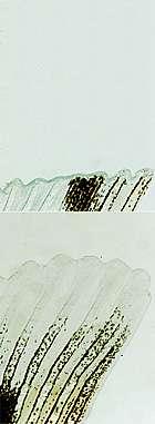 En haut : le traitement de l'amputation par des inhibiteurs de méthylation empêche la régénération. En bas : Nageoire caudale complètement régénérée au bout de sept jours sans traitement. © Scott Stewart/Salk Institute for Biological Studies