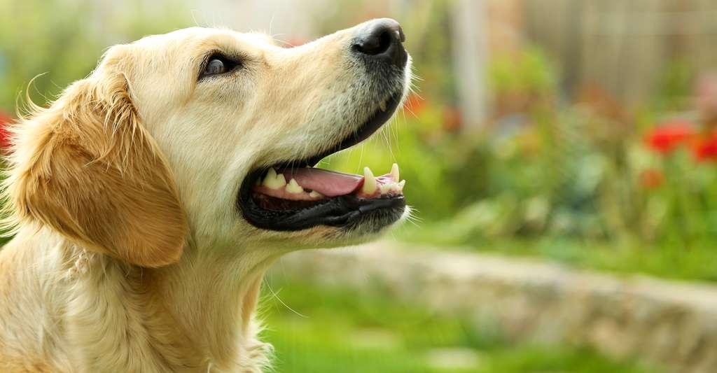 Le golden retriever se classe quatrième des chiens les plus intelligents au monde. © Africa Studio, Shutterstock