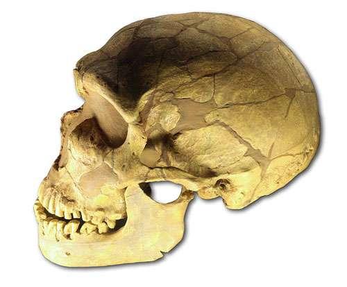 Moulage du crâne de Néandertalien de La Ferrassie, vitrine du musée de l'Homme, Paris. © 120 licence Creative Commons Paternité, partage des conditions initiales à l'identique 3.0 Unported