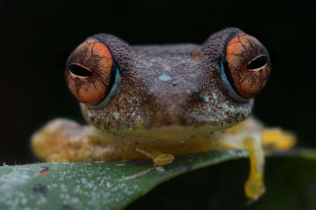 Les Boophis, des grenouilles aux grands yeux pour détecter les mouvements