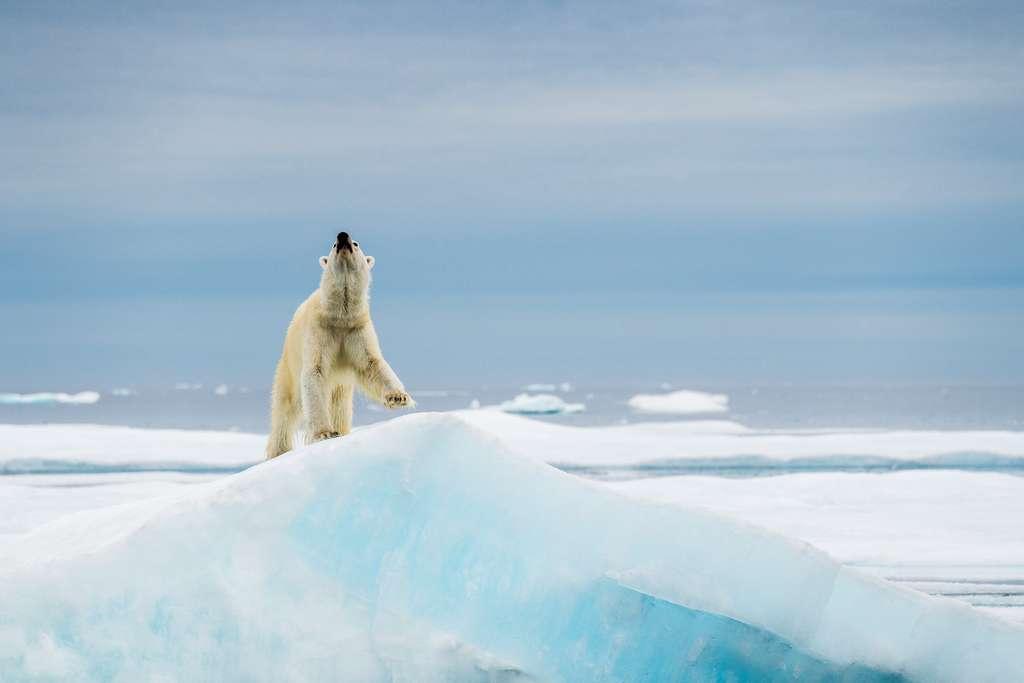 L'ours polaire, maître des glaces