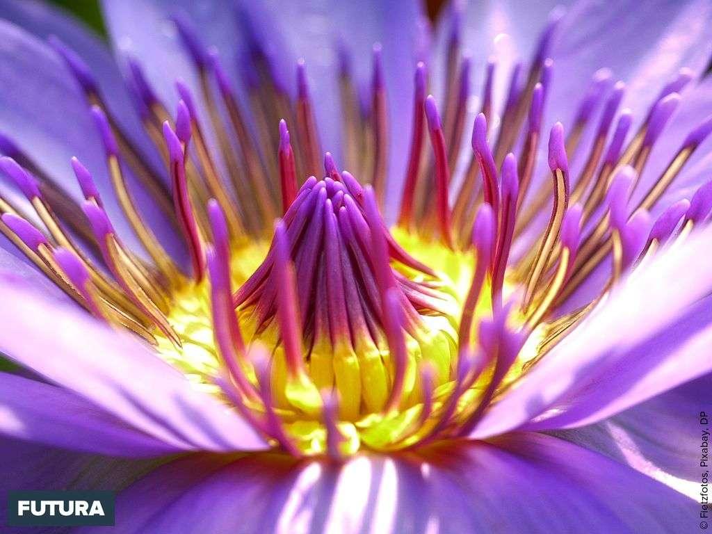 Le dahlia originaire du Mexique a été introduit en France en 1802