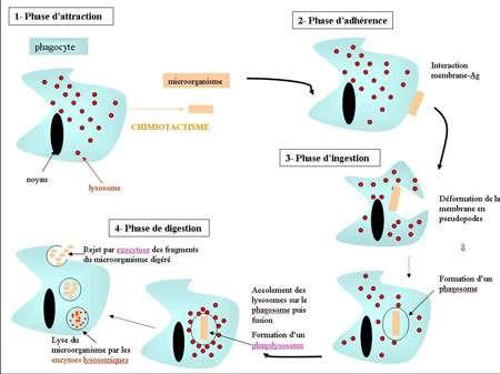 Mode d'action d'un phagocyte en présence d'un micro-organisme étranger. © Pédagogie Académie Montpellier