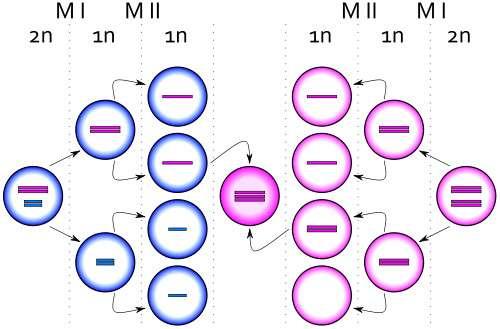Méioses et fécondation donnant une cellule avec trois chromosomes X (en rose), donc une trisomie X. © Silver Spoon, CC by sa 2.5, Wikimedia Commons