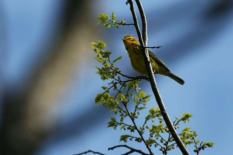 Une paruline des prés, l'une des nombreuses espèces d'oiseaux en déclin en Amérique du Nord, à New York le 7 mai 2014. © Spencer Platt, Getty images North America, AFP