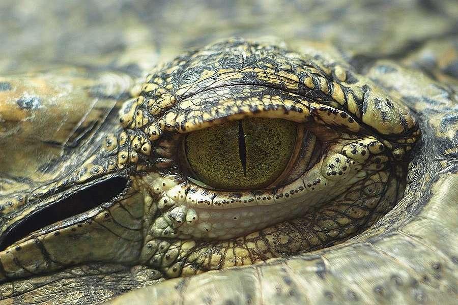 Derrière cet œil se cache un crocodile de Siam (Crocodylus siamensis), un crocodilien de trois mètres de long qui apprécierait les pastèques. © Giuss95, Flickr, cc by nc sa 2.0