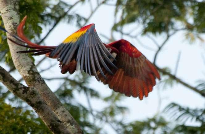 La photographie en forêt tropicale très variée. Ici, l'envol d'un Ara macao. © Sylvain Lefebvre et Marie-Anne Bertin, DR