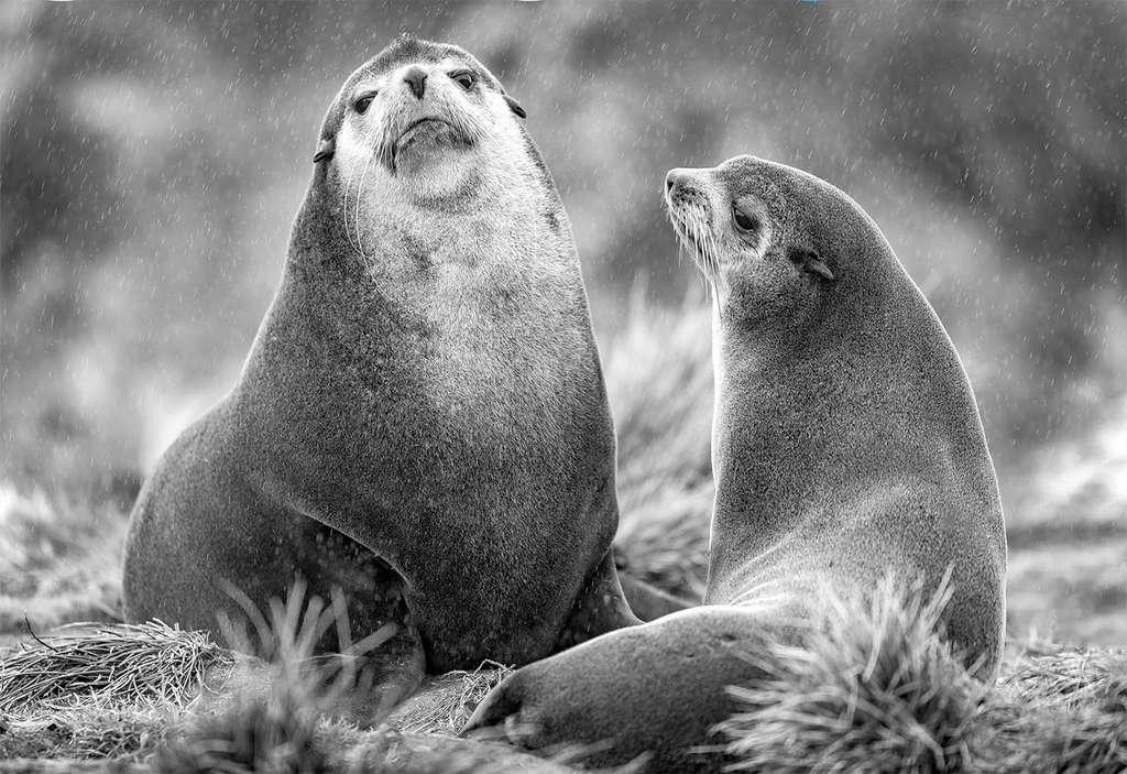 Le réchauffement climatique touche aussi les eaux des mers et des océans. Avec lui, la nourriture se raréfie et de plus en plus de mammifères marins, comme les otaries, affamés, s'échouent sur les plages. © Gregory Pol, tous droits réservés