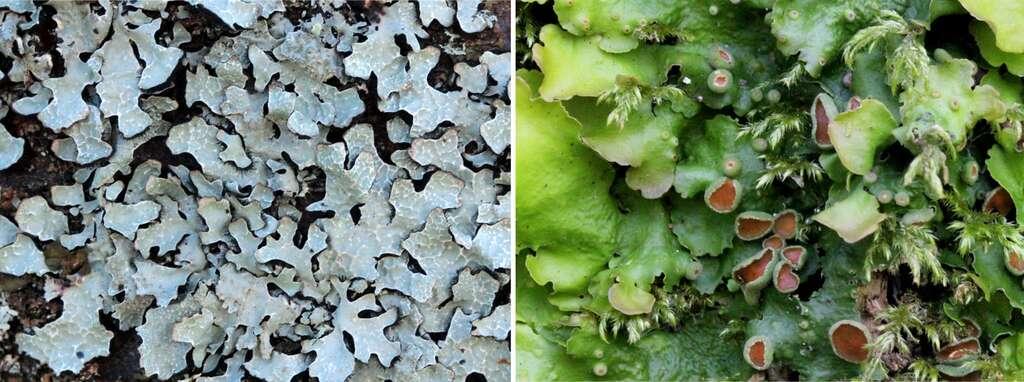 Les chlorolichens (Parmelia sulcata, à gauche) et les cyanolichens (Lobaria virens, à droite) sont les deux catégories de lichens. © Yannick Agnan - Tous droits réservés