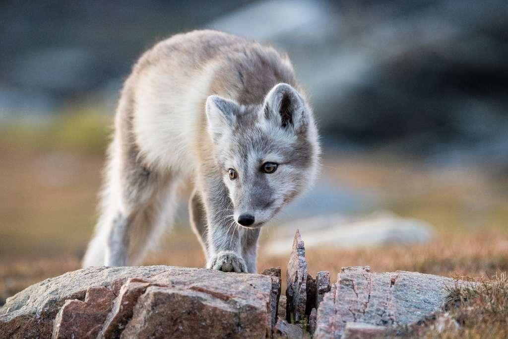 Le bébé renard polaire et sa curiosité