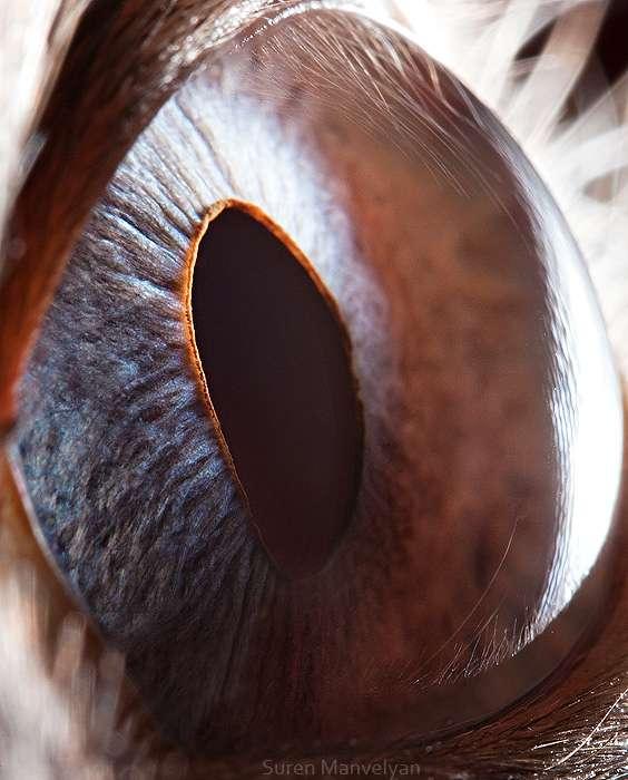 L'œil d'un chat siamois. Les chats ont une membrane réfléchissante très efficace permettant la vision de nuit. © Suren Manvelyan