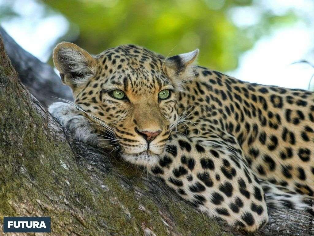 Léopard : c'est un prédateur crépusculaire qui peut peser jusqu'à 96 kilos