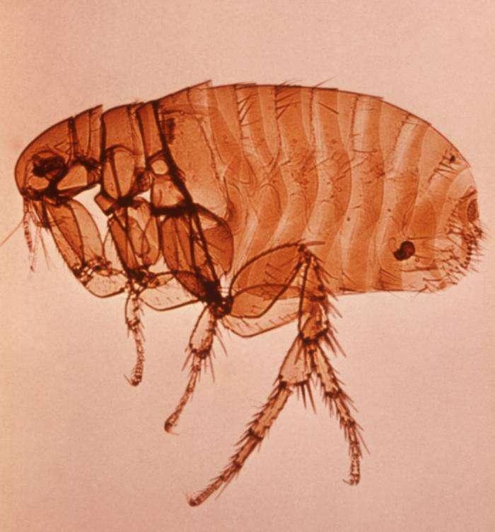 Puce de rat Xenopsylla Cheopis. Cet animal peut être responsable de la transmission du typhus murin, notamment via les céréales. © DP