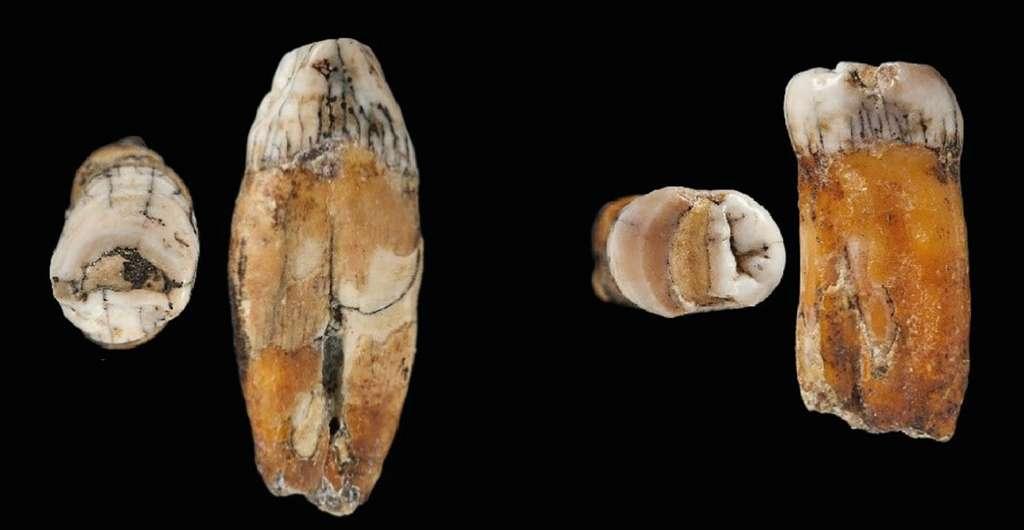 Deux des dents trouvées dans la grotte à Jersey, signe potentiel d'une hybridation entre Neandertal et Homo sapiens. © Natural Museum History