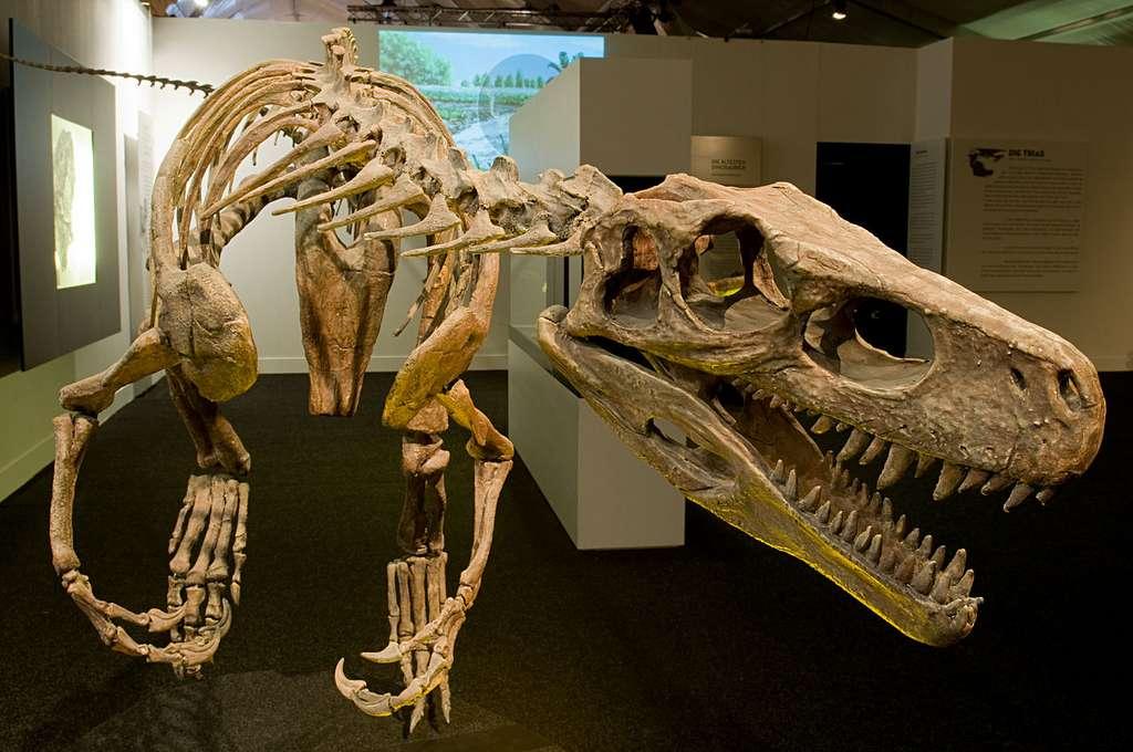 Une copie du squelette de Herrerasaurus ischigualastensis, un des plus vieux représentants des dinosaures. © Eva K, Wikipedia, CC by-sa 3.0