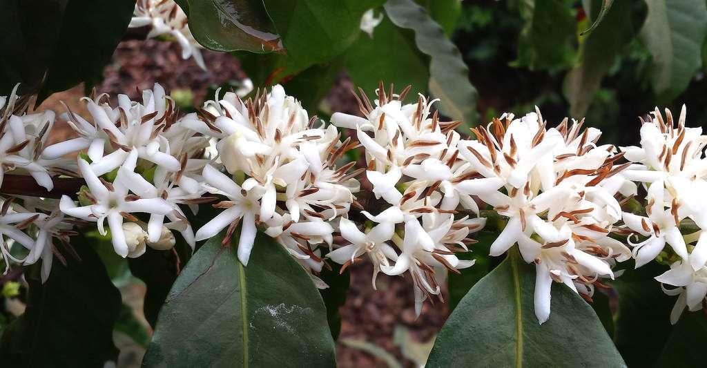 Fleurs de caféiers. © Vandelinodias, Pixabay, DP