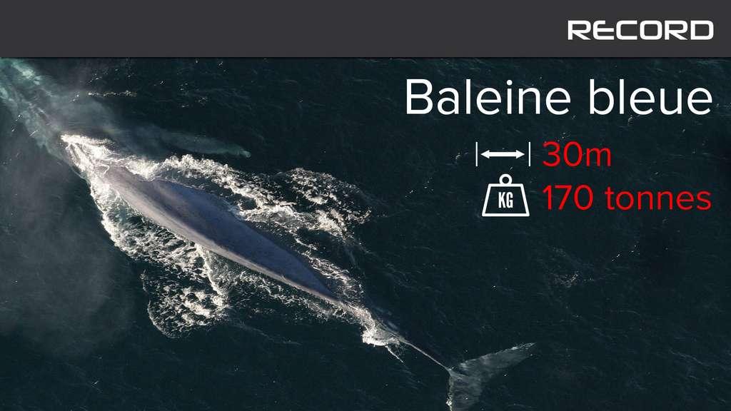 La baleine bleue, un cétacé qui bat tous les records