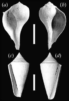 """(a) et (c) : Coquilles d'escargots senestres (b) et (d) : Coquilles d'escargots """"droitiers"""" (Courtesy of G Dietl/J Hendricks/Biology Letters)"""