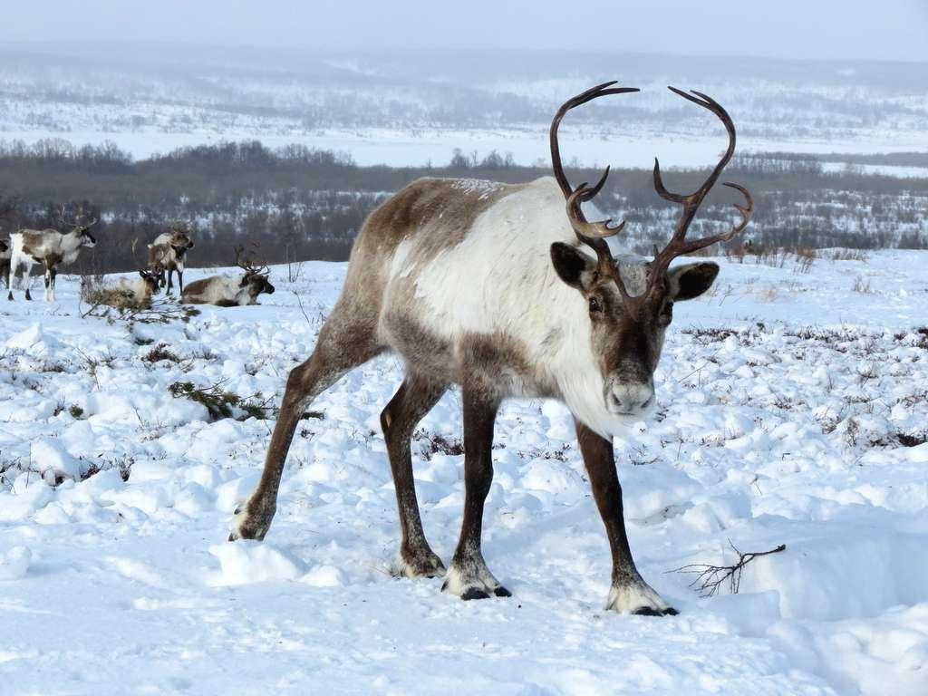 Les caribous qui vivent dans les contrées froides du nord de l'Amérique sont restés sauvages. © Natalia_Kollegova, Pixabay, CC0 Creative Commons