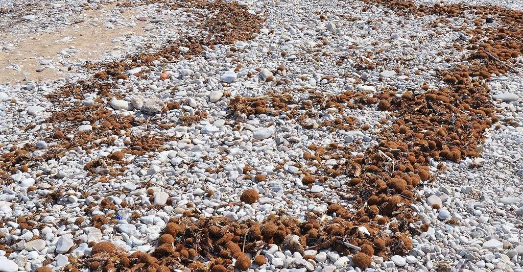 Sur la plage de l'Almadrava, des résidus de posidonie. © Joanbanjo, Wikimedia, CC by-sa 4.0