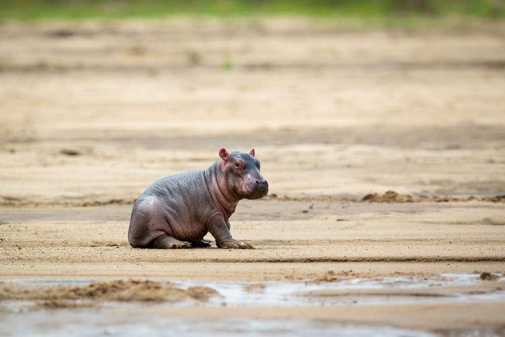 Petit d'hippopotame sera bientôt grand