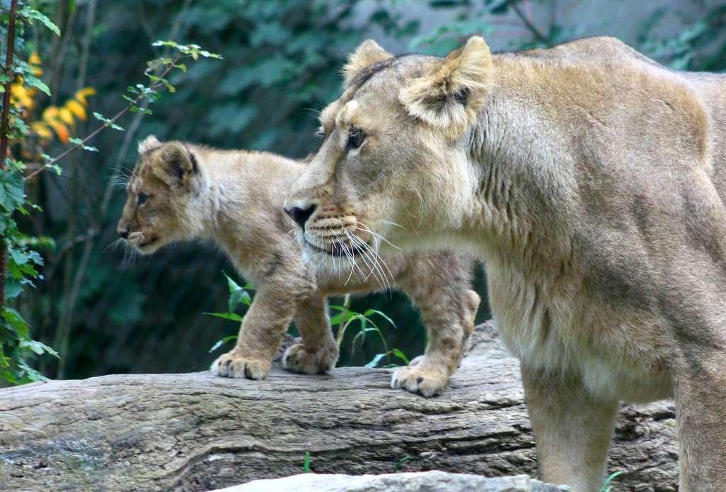 Lionne et lionceau. © Patrick Straub