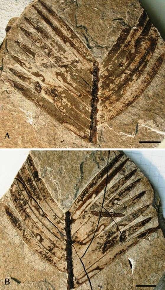 Les zamites sont des bennettitales, un groupe de végétaux apparentés aux conifères, ginkgos et cycas, et ayant vécu du Trias au Crétacé, avec une apogée du Jurassique supérieur au Crétacé inférieur. Leur aspect devait faire penser à celui des cycadales actuelles. La double empreinte de frondes de zamites que l'on voit sur ces images porte des traces montrant qu'elles ont servi de repas à des insectes. La barre d'échelle indique une longueur de 1 cm. © André Nél
