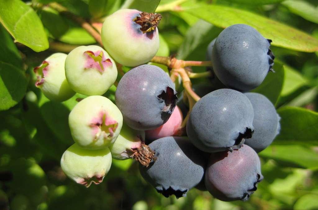 Pour extraire le pollen nécessaire à la fécondation du bleuet, sa fleur doit être vigoureusement secouée, à tel point que presque seuls les bourdons sont capables de le faire. © Aconcagua, Wikipedia, CC by-sa 3.0